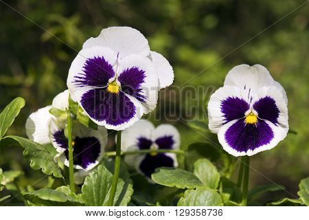 Beautiful view of  white pansies, close view