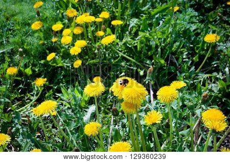A bumble bee collecting pollen on dandelion flower