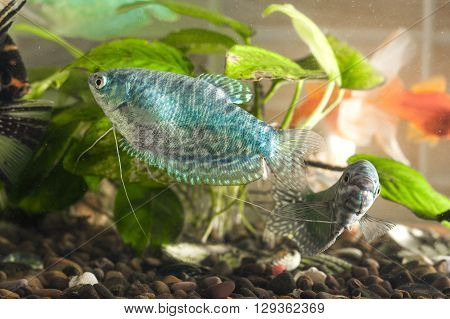 Aquarium fish is swimming in the water with green plants