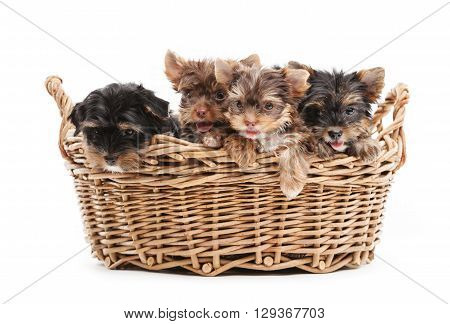 Four yorkshire terrier puppies in a basket over white background