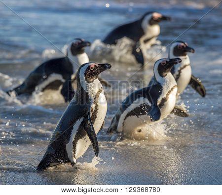 African Penguins. African Penguin (spheniscus Demersus) Walk Out From Ocean.