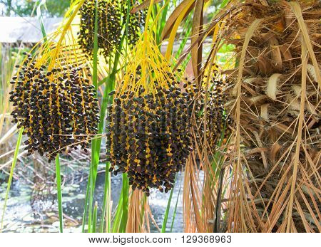 Closeup of hanging cluster of black seeds or fruit from a tropical palm tree in Western Australia.