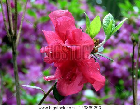 The Red Azalea flower with waterdrops in garden
