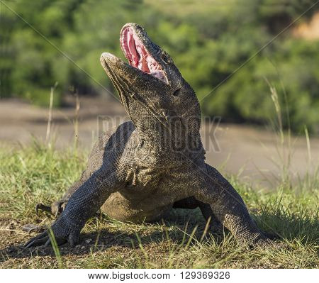 Komodo Dragon Raised The Head And Opened A Mouth. The Komodo Dragon ( Varanus Komodoensis ) Is The B