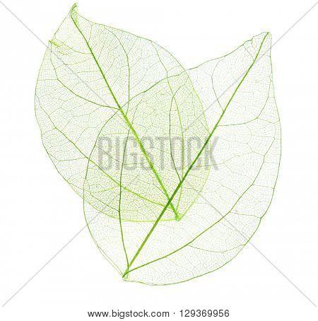 Skeleton leaves isolated on white