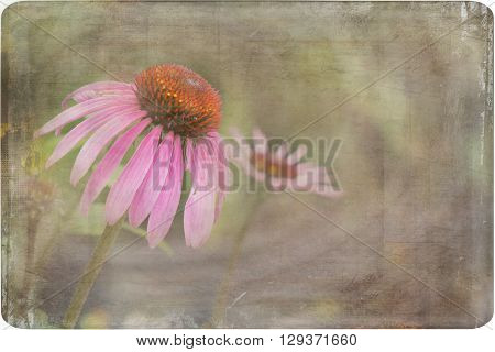 A distressed photo of a purple coneflower.