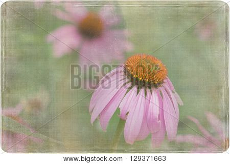 A photo of a distressed single purple coneflower standing out in a field of cone flowers.