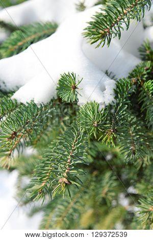 Snowy fir tree branches, closeup