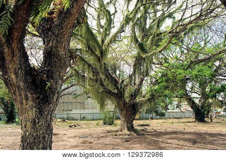 A huge tropical tree. Farm. Philippines. Palawan Island.