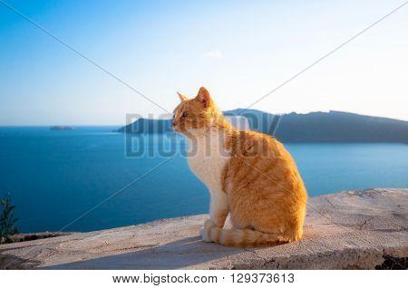 A domestic cat in Santorini island, Greece