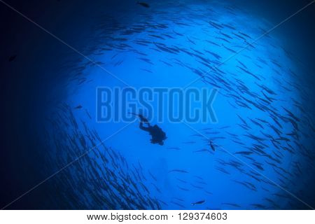 Scuba diver silhouette with school barracuda fish in blue ocean