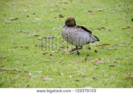 the Australian wood duck is walking on the grass