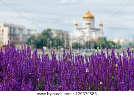 lavender lawn on the Crimean embankment with Church of the Holy Martyrs Florus and Laurus on background. Moscow, Russia. focus foreground