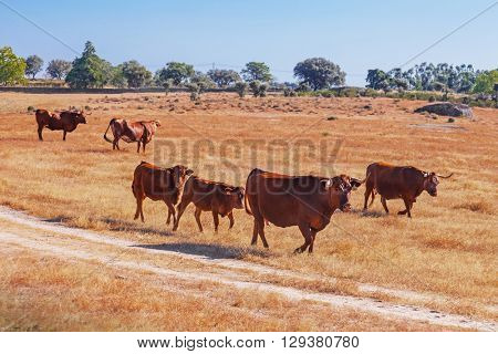 Cows of the Alentejana Breed (Raca Alentejana) bred free in the vast rural fields. Alentejo Region of Portugal.