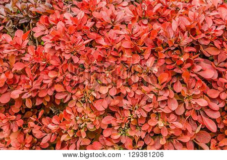 Leaves on a red hedge make a bright colorful background