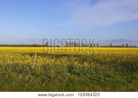 yellow flowering canola crop with poplar trees in the distance near a yorkshire village under a blue sky in springtime