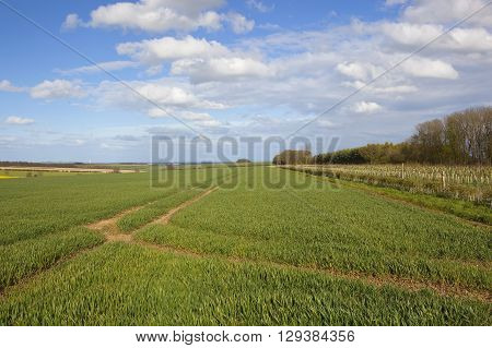 wheat crops in the rolling hills of the yorkshire wolds england under a blue cloudy sky in springtime
