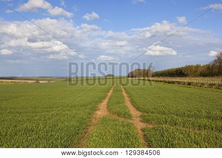 rolling hills with wheat crops in the yorkshire wolds england with woods and a plantation of saplings in springtime