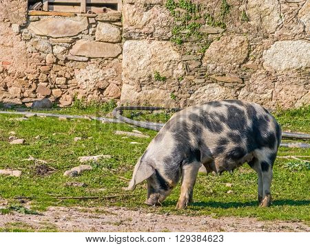 Female pig feeding with teats full of milk for the piglets. Crato, Alto Alentejo, Portugal.