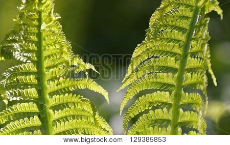 Bright green Ostrich fern in the forest. Latin name: Matteuccia struthiopteris