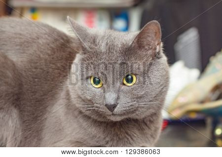 Nice adult grey cat with yellow eyes in disbelief