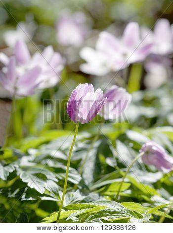 Closeup of wood anemone with a violett tint. Latin name: Anemone nemorosa