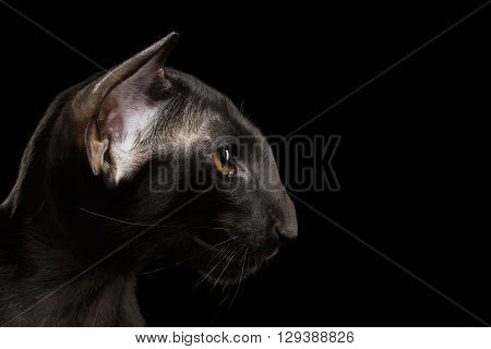 Closeup Black Oriental Cat With Big Ears in Profile view Isolated Background