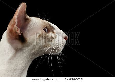Closeup White Oriental Cat With Big Ears in Profile view Black Isolated Background