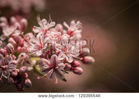 Pink Hue Of California Wildflower