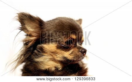 Longhair Chihuahua - Portrait Head - One Color Background