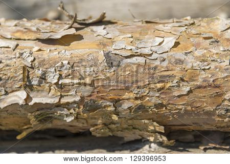 sunny illuminated bough detail with peeling bark