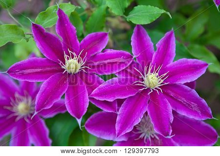 Clematis flowers over green background