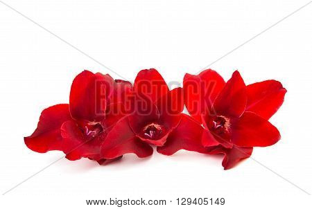 gladiolus flowers isolated on white background fragility,