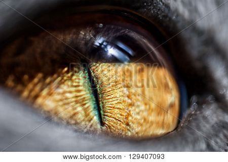 The yellow eye of cat close up