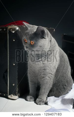 Young Gray British Cat
