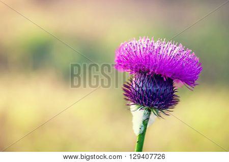 Beautiful Purple Flower Of Thistles