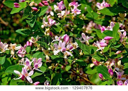 Honeysuckle Pink With Leaves