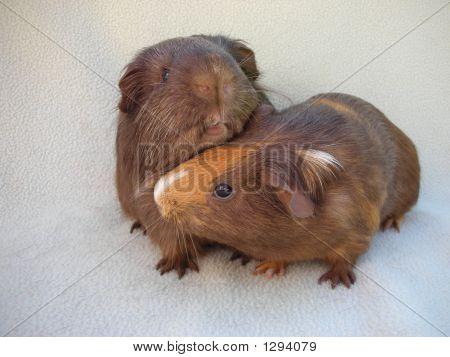 Snuggling Guinea Pig Pair