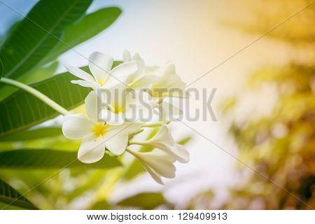 White plumeria on the plumeria tree. fill color filter.