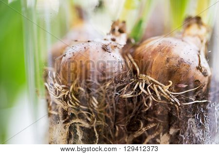 gardening, flowers, floristry, nature and flora concept - close up of flower bulb or onion