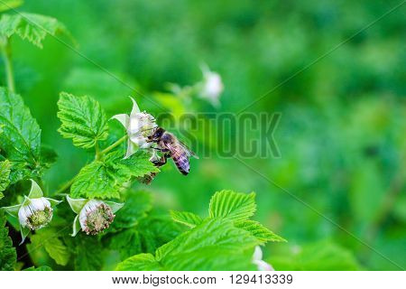 Bee pollinate on flower of raspberry nature background