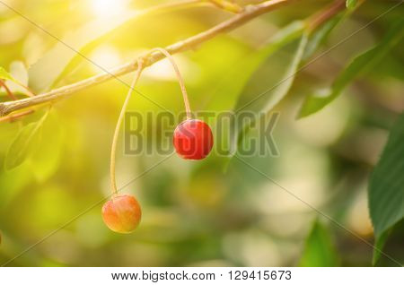 Cherry tree with red fruits growing in the garden, natural sunny seasonal background