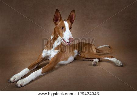 One year old purebred Ibizan Hound (Podenco ibicenco) dog lying in front of brown background