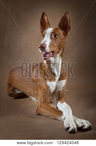 Portrait of one year old purebred Ibizan Hound (Podenco ibicenco) dog lying in front of brown background
