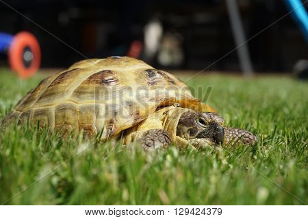 Detail of a little tortoise crawling in the green grass