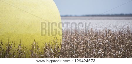 Round bales of harvested cotton wrapped in yellow plastic in Oakey, Queensland.