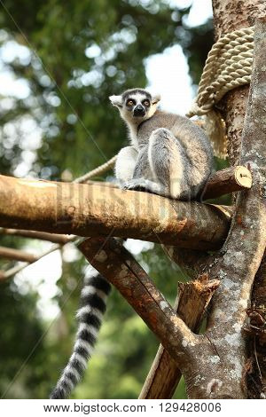 ring tailed lemur taking a nice view from tree top