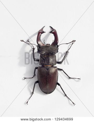 stag beetle on white background with shadow
