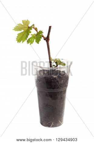 seedlings of grapes in a glass on white background