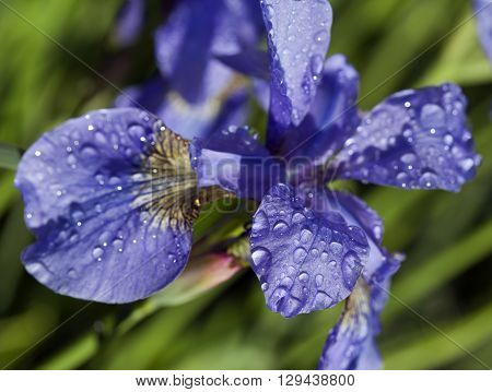 Close up of a Siberian Iris, Siberian flag in a garden. Water drops on the bloom, leaves.
